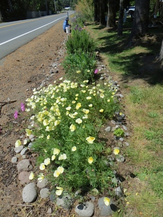 California poppies in Diane's roadside garden