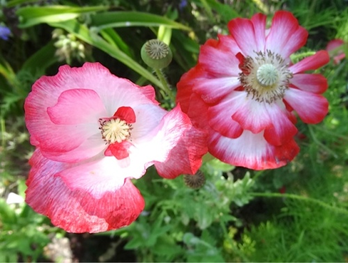 and more poppies