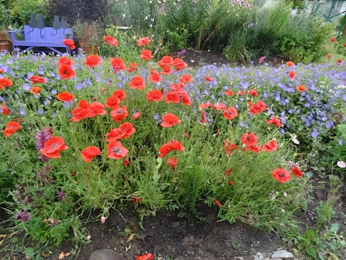 poppies and Geranium 'Rozanne'