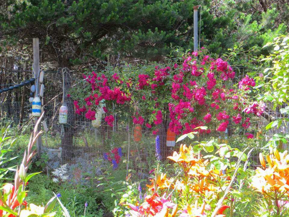 rose climbing on deer fence, July 3rd