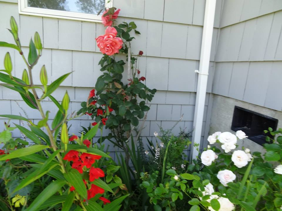 Kristine doesn't spray anything toxic for blackspot on roses; she told us she picks off any bad leaves.