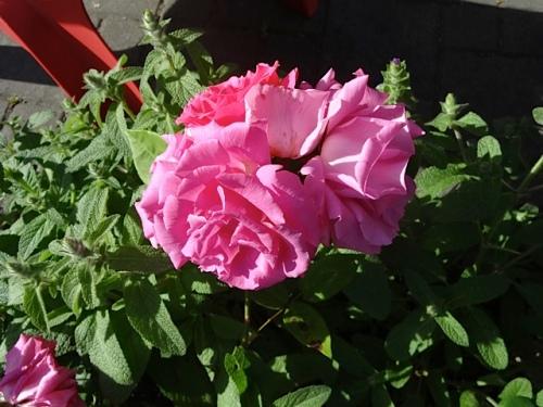 Rose 'Zepherine Drouhin'