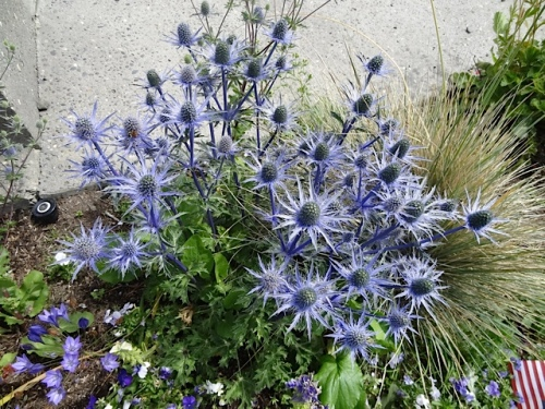 Eryngium 'Sapphire Blue' in Veterans Field