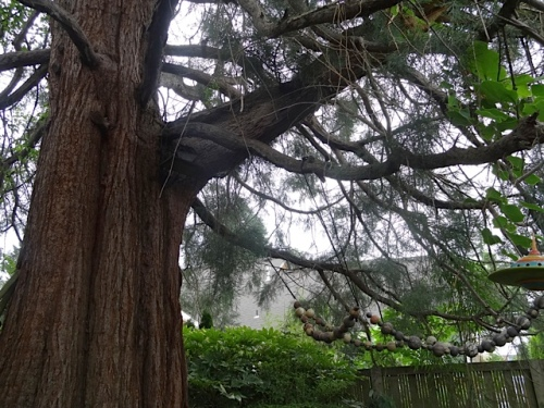 looking up into the sequoia