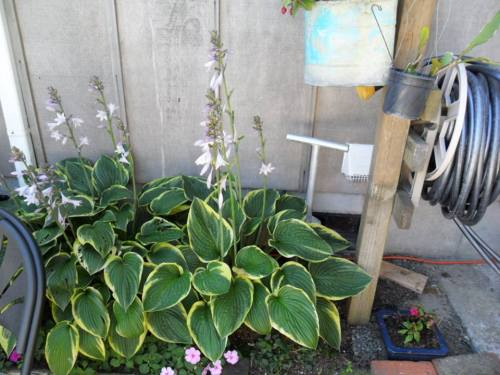 hostas in shade, photo by Kathleen Shaw