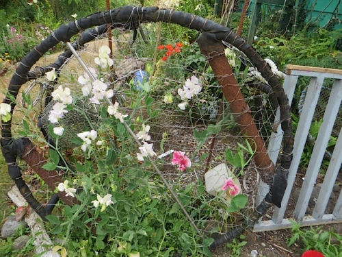 sweet peas on old crab pot