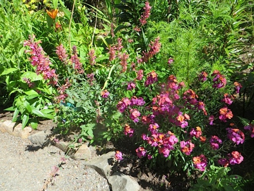 Erysimum 'Winter Orchid' and Agastache 'Acapulco Salmon and Pink'