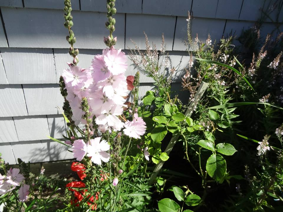 I want this pale pink fringed sidalcea or whatever it is; Kristine says I can have seeds.