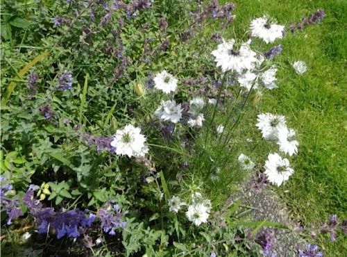 white nigella (love in a mist) in Fifth Street Park