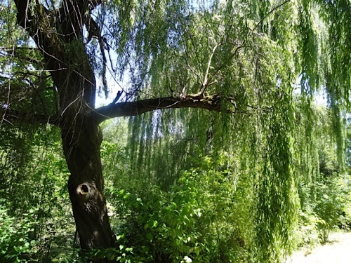 willow3