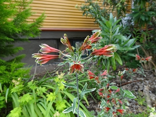 used to have this alstroemeria, saw it at Xera yesterday, did not buy it, wish I had...