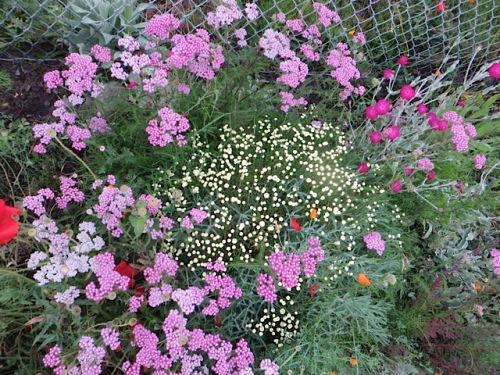 santolina and pink achillea (yarrow)