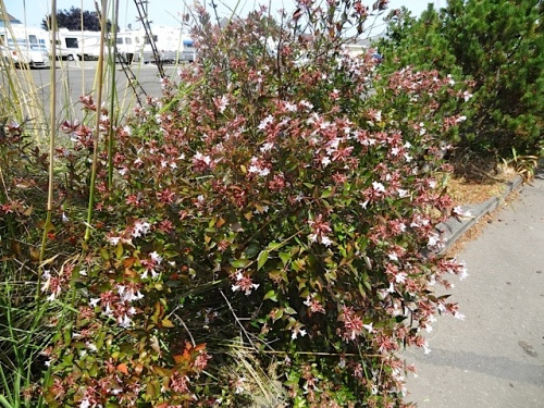Abelia looks delicate but is being tough and strong.