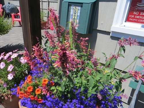 Agastache 'Acapulco Salmon and Pink' by the office