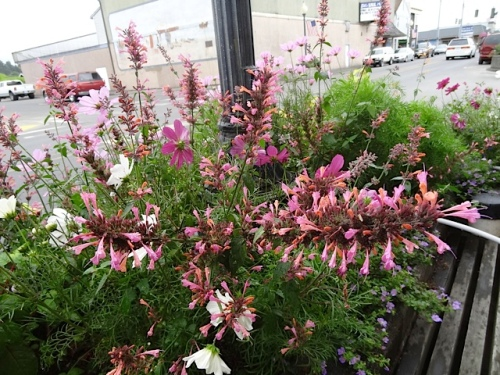 Agastache 'Acapulco Salmon and Pink': what a great do-er!