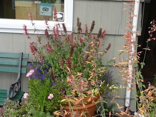 Agastache 'Navajo Sunset' and 'Acapulco Salmon and Pink'