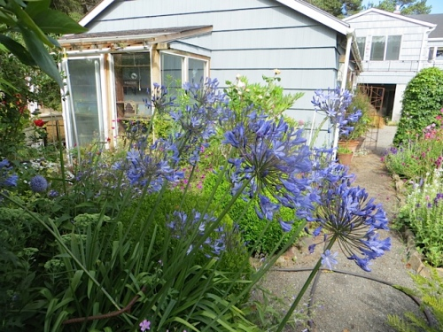 "I used to have a mental block remembering the name ""Agapanthus"" til I associated it with ""It's a mystery>Agatha Christie""."