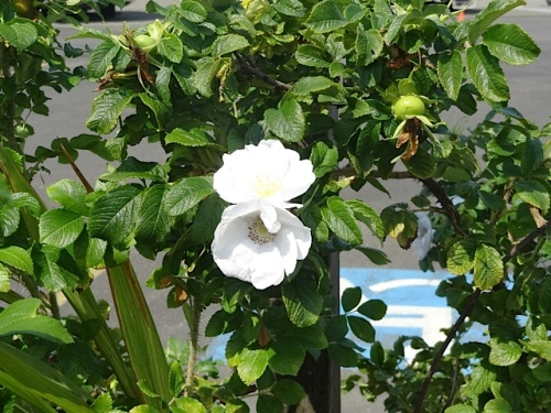 Despite its aggressive nature, Rosa rugosa alba has so much to offer.