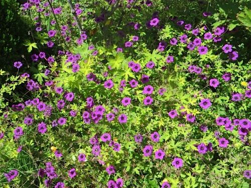 Ann Folkard: a stunning hardy geranium