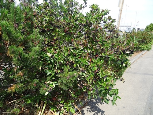 Aronia, which never registered with me before this year for some reason, is a champ.