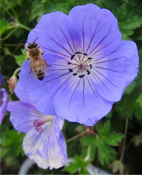 Geranium 'Rozanne' is a big hit with pollinators.