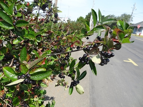 I read that its common name chokecherry refers to the bitterness of the edible berries.