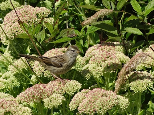 a sweet little bird on Sedum 'Autumn Joy' in Fifth Street Park