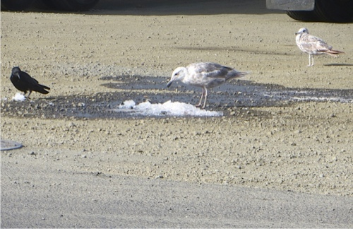 We have had no rain to speak of.  Across the street, birds were pecking at ice from one of the fish trucks.