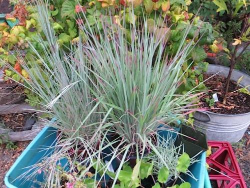 little bluestem grasses