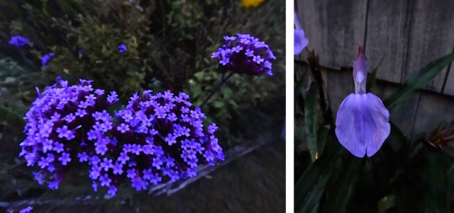 Have you noticed that blue flowers really glow at dusk? (Allan's photos)
