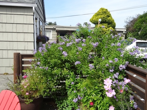 Solanum crispum 'Glasnevin' (blue potato vine) just keeps on blooming.