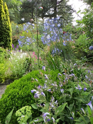 Agapanthus and Strobilanthes atropurpurea