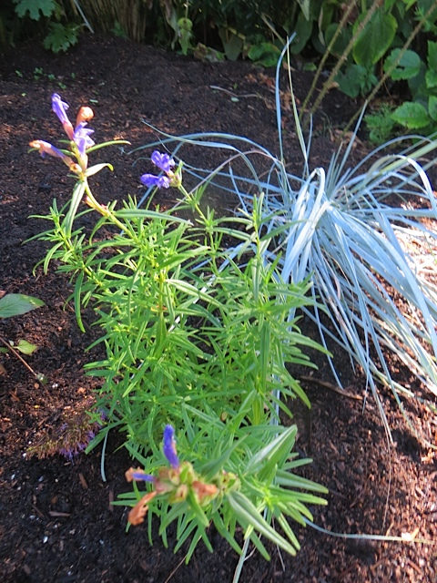In the west bed: Dracocephalum 'Blue Moon', also new to me, from The Planter Box