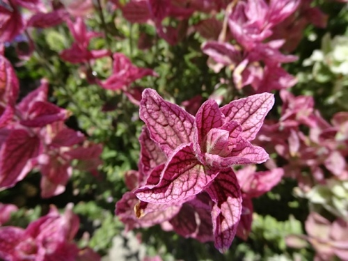 Salvia viridis bracts