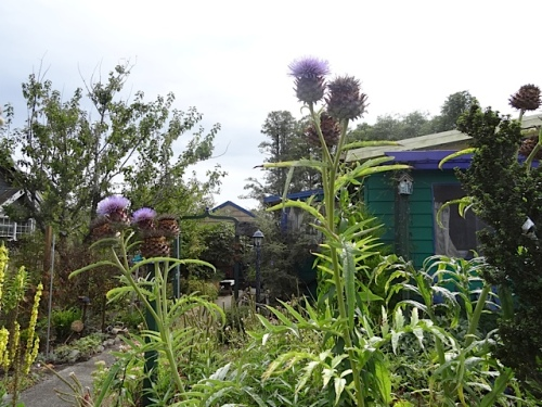 """cardoon (which causes many passersby to say """"Look, artichokes!"""""""