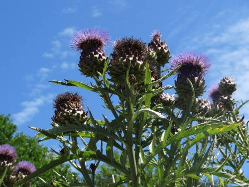 Cardoon (Allan's photo)