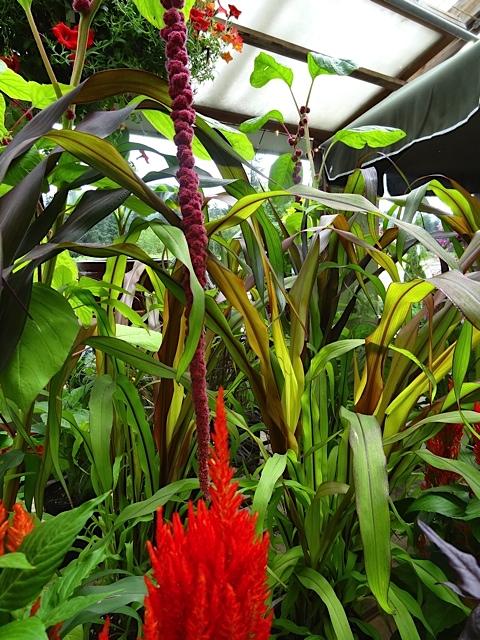 I just read that Celosia is in the Amaranth family.