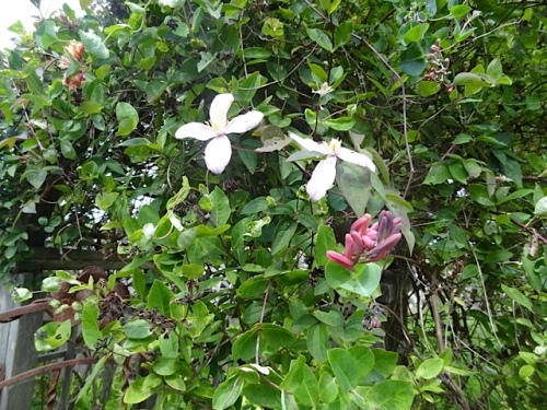 a couple of errant, late clematis flowers over the arbour