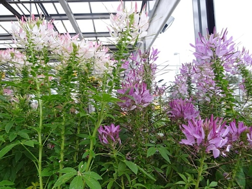 Cleome...tempting but I did not want to rassle the thorns.