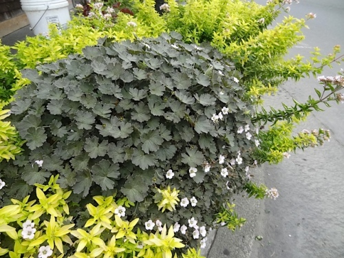 Here's a planter combo I like: golden oregano with a nice dark leaved hardy Geranium from Joy Creek Nursery. (forgot the name!)