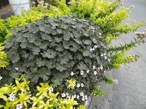 Here's a planter combo I like: golden oregano with a nice dark leaved hardy Geranium from Joy Creek Nursery. (forgot the name!)