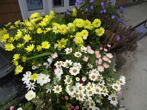 Focusing on good things: the remaining Agyranthemum 'Butterfly' and Coreopsis 'Star Cluster'