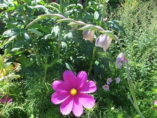Cosmos and Gladiolus papilio