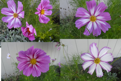 variety in one clump of cosmos