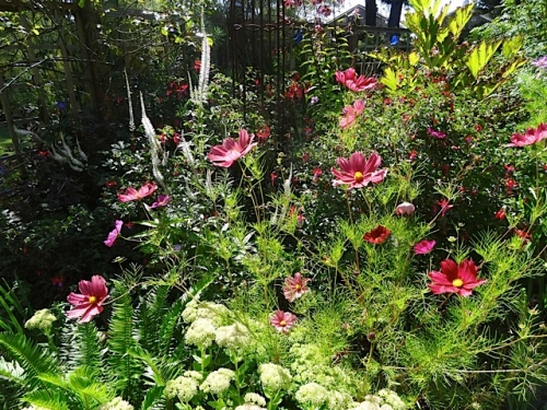 cosmos after deadheading