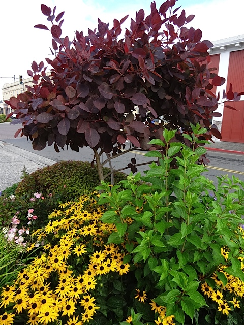Cotinus and rudbeckia