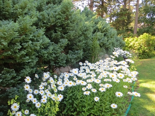 daisies in the lawn border (outside the deer fence)