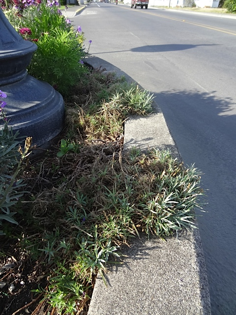 The dead-looking Dianthus 'Charles Musgrave' on the northernmost planter is reviving.