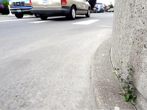 wee eryngium seedling (Allan's photo)
