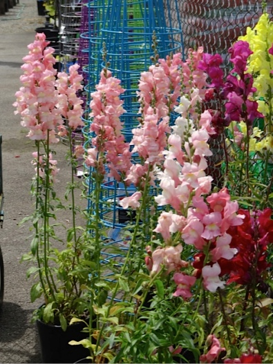 Allan's photo: snapdragons